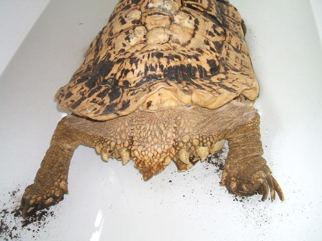deformedpardalis.jpg